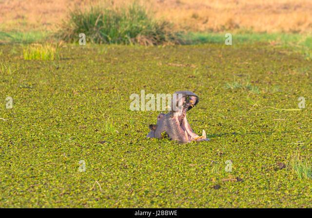 Botswana. Okavango Delta. Khwai concession. Herd of hippos (Hippopotamus amphibius) yawning in the Khwai river. - Stock-Bilder