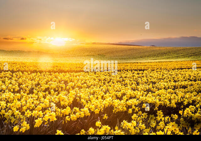 Kinneff, Aberdeenshire, UK.  UK Weather. 10th April, 2017.  Sunrise over the commercial daffodil fields of Scotland - Stock-Bilder