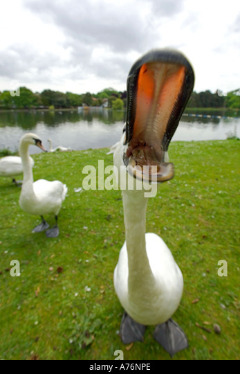 Very close focus, wide angle shot of a Mute Swan (Cygnus olor) with it's mouth wide open. - Stock Image