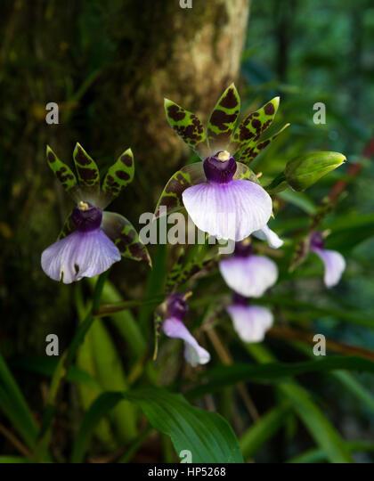 Wild Zygopetalum maxillare orchids - Stock Image