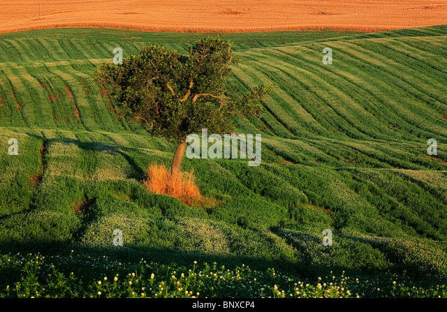 Tree on a field in Tuscany's Val d'Orcia, Italy - Stock-Bilder
