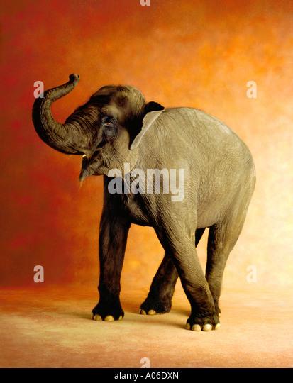 BABY ELEPHANT - Stock Image