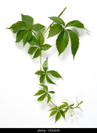 Twig of a climbing plant - Stock-Bilder