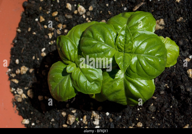 Basil herb plant in home garden planter - Stock Image