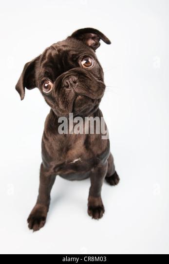 Pug dog sitting down, portrait - Stock Image