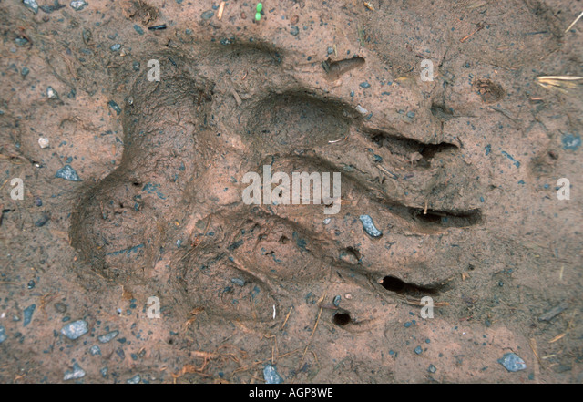 Badger's foot print - Stock Image