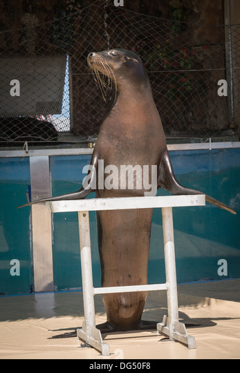 Trained seal, Great New York State Fair, Syracuse. - Stock Image
