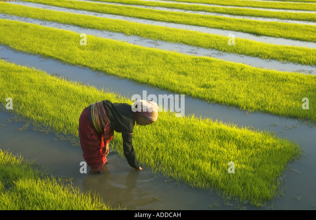 Woman tends to rice seedlings Kengtung Myanmar - Stock-Bilder