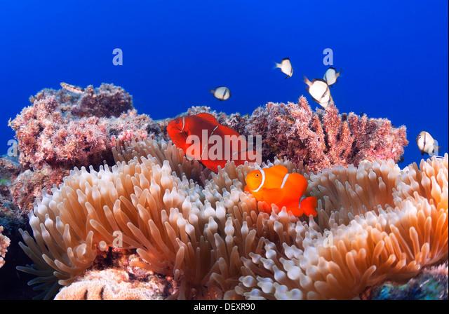 Spinecheek Anemonefish Premnas biaculeatus Great Barrier Reef, Coral Sea, Pacific Ocean, Queensland, Australia - Stock Image