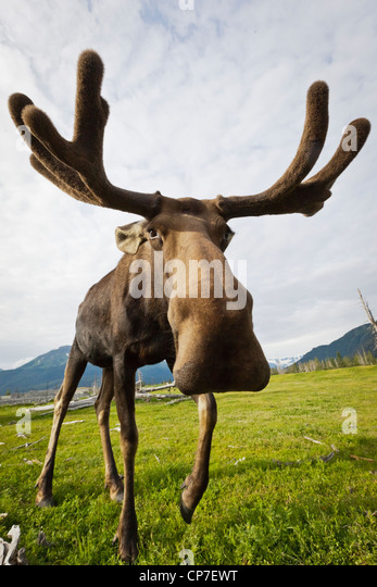 CAPTIVE: Wide angle close up of an approaching moose with antlers in velvet, Alaska Wildlife Conservation Center, - Stock Image
