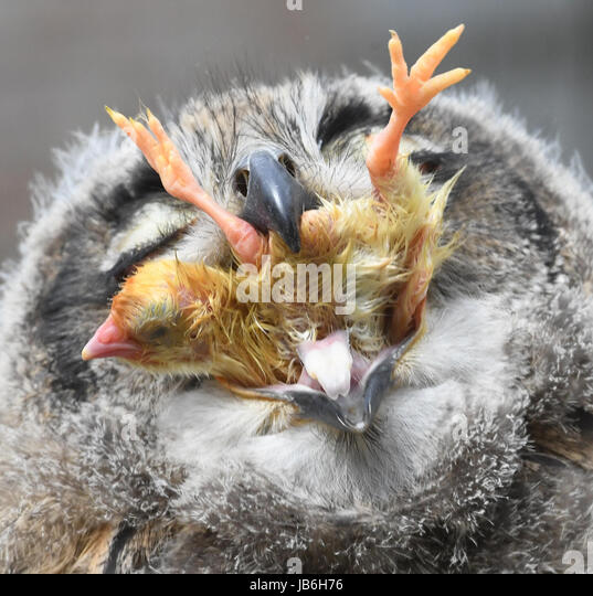 Stralsund zoo, Germany. 8th June, 2017. The eagle owl baby Horst eats a dead chick at Stralsund zoo, Germany, 08 - Stock-Bilder