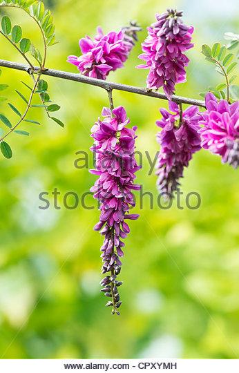 Indigofera pendula x potaninii . Weeping Indigo hybrid flower - Stock Image