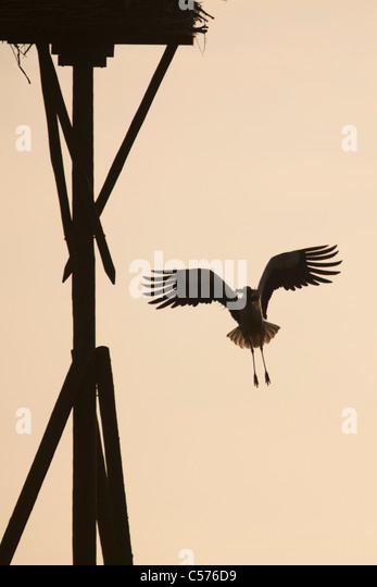 The Netherlands, Jonen, Stork flying back to nest with nest material. - Stock Image