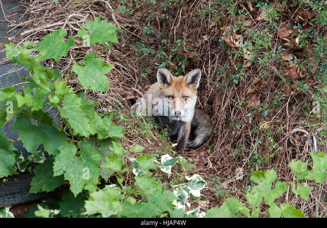 In East London an urban fox sitting on an overgrown wall looks towards the camera - Stock Image