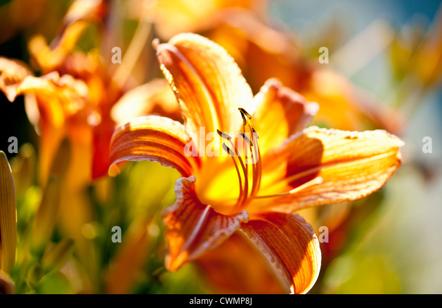 Beautiful orange tiger lily flowers blossoming in garden - Stock Image