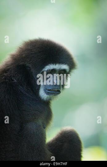 Captive White-handed Gibbon (Hylobates lar) at Singapore Zoo - Stock Image