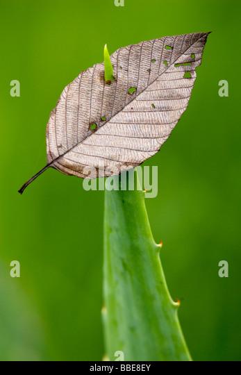 Leaf pierced by spiny-edged plant - Sachatamia Rainforest Reserve - Mindo, Ecuador - Stock Image