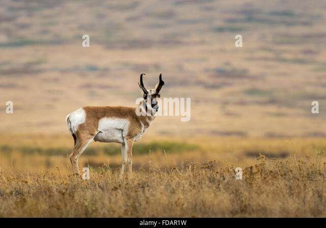 Pronghorn buck standing broadside. - Stock Image