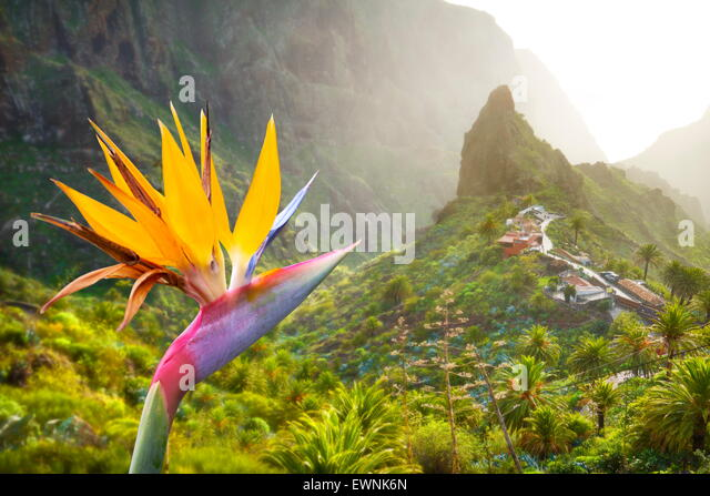 View at Strelitzia and Masca village, Tenerife, Canary Islands, Spain - Stock-Bilder