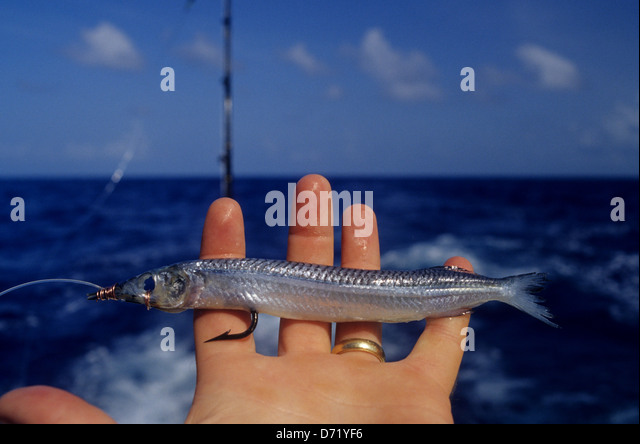 Ballyhoo stock photos ballyhoo stock images alamy for Deep sea fishing texas