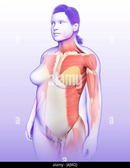 Illustration of female musculature. - Stock-Bilder
