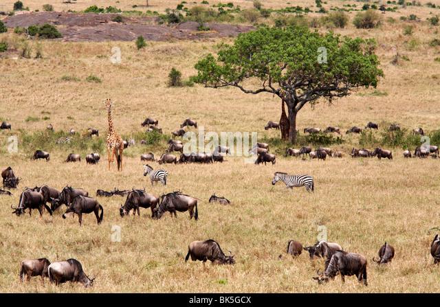 Wildlife in abundance in the Masai Mara National Reserve, Kenya, East Africa, Africa - Stock-Bilder