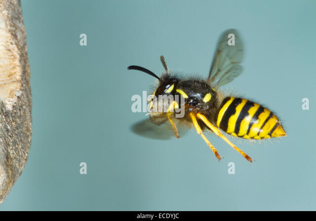 Tree Wasp (Dolicovespula sylvestris) adult worker in flight, arriving at the nest entrance with wood pulp for nest - Stock Image