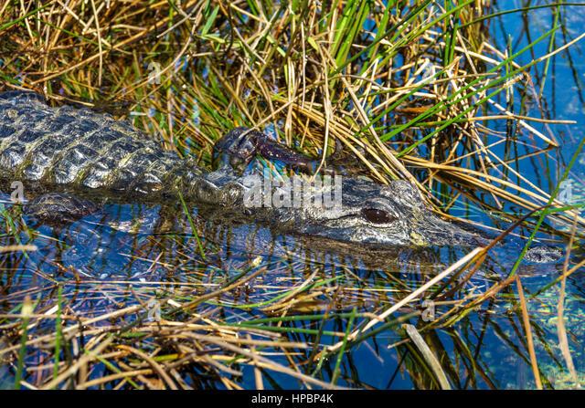 Florida Everglades National Park Shark Slough Pa-Hay-O-Kee Pahayokee Trail alligator grass - Stock Image