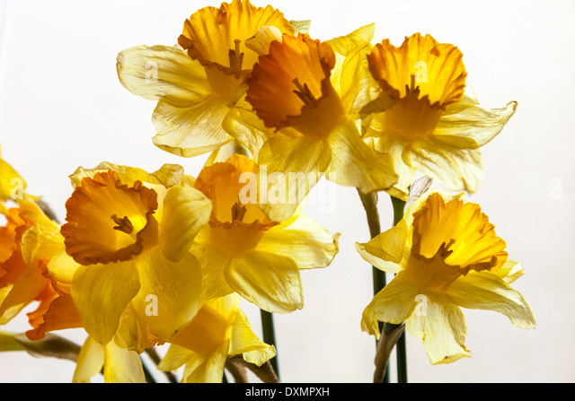 Daffodils-Narcissus Pseudonarcissus,Lent Lilly - Stock-Bilder
