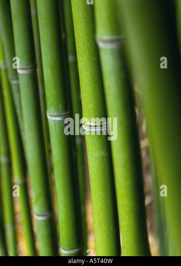 Bamboo stalks - Stock Image