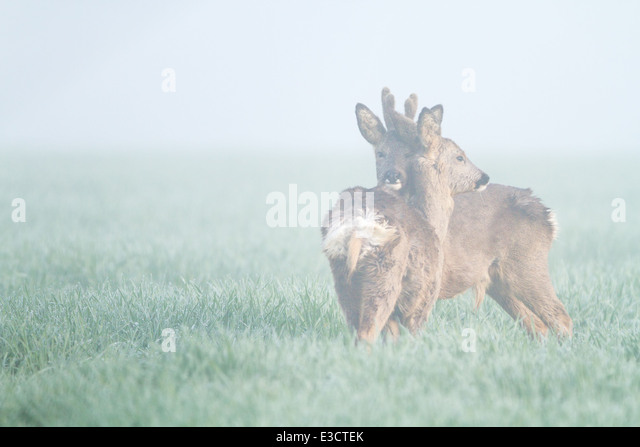 A pair of young Roe deer, part of a family group, grooming each other in the mist, Norfolk, England - Stock Image