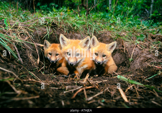 Red fox pups at den in Colorado - Stock Image
