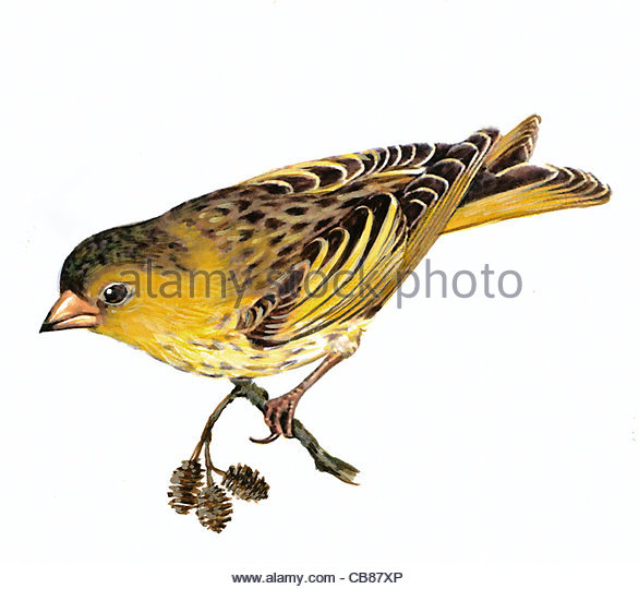 Siskin bird species Series Songbird - Stock-Bilder