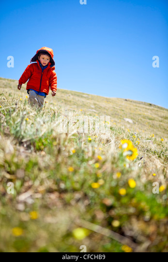 a 2 year old hikes past yellow alpine wildflowers (daisy like) that follow the sun. He is running on the Continental - Stock-Bilder