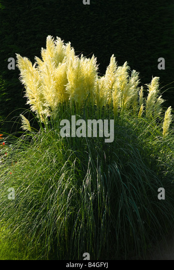 Ornamental Grasses Kenya : Grass plumes stock photos images alamy