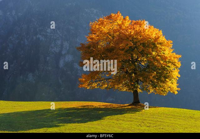 Linden tree (Tilia sp.), tree in autumn, Klausenpass, Switzerland, Europe - Stock-Bilder