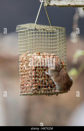 Bank Vole on pea nut feeder - Stock-Bilder