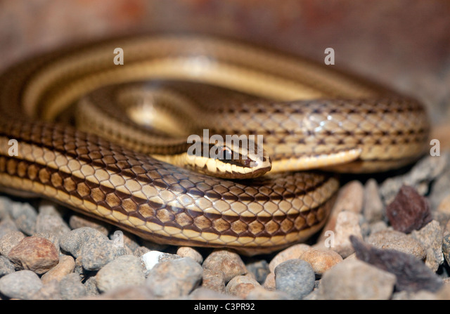 Common road guarder (Conophis lineatus) coiled up in Costa Rica. - Stock Image