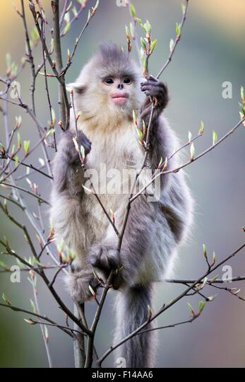 Yunnan Snub-nosed Monkey (Rhinopithecus bieti) young eating fresh leaf buds. Yunnan Province, China. - Stock Image