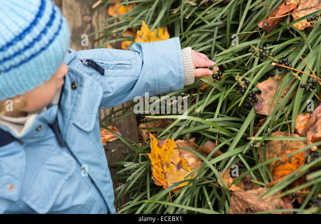 Little boy(2-3) picking berries - Stock Image