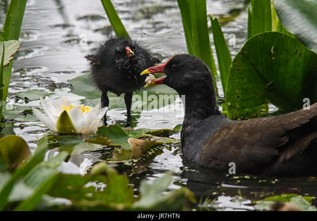 Melton Mowbray, UK. 4th August 2017. UK Weather. Common moorhen (Gallinula chloropus) feeds her young chick, visiting - Stock Image
