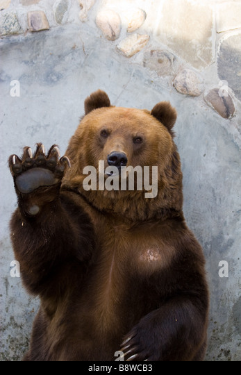 The brown bear waves a paw He welcomes visitors of a zoo and waits for an entertainment - Stock-Bilder