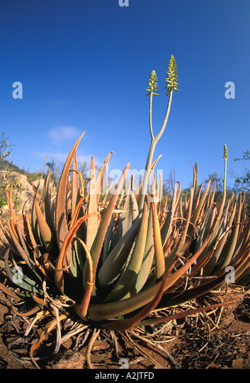 ARUBA Aloe Plant  closeup portrait with yellow flowers blooming - Stock Image