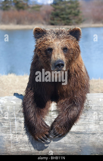 CAPTIVE Female brown bear at the Alaska Wildlife Conservation Center, Southcentral Alaska, - Stock Image