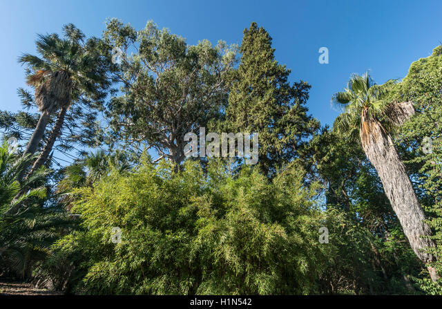 Villa Thuret Botanic Gardens, Cap Antibes, Jardin Thuret, 1600 exotic species, Eucalyptus Tree, Cote d Azur, France - Stock Image