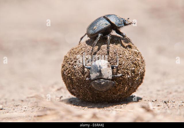 Dung beetles rolling ball of dung faeces in Lake Nakuru National Park Kenya East Africa - Stock Image