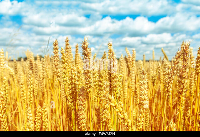 Golden wheat field with blue sky and clouds in background. - Stock Image