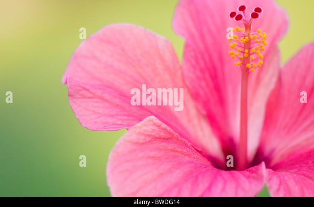 A close-up image of single pink Hibiscus Flower - rosa-sinensis - Stock Image