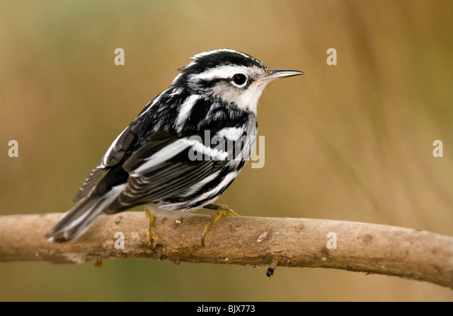 Black and White Warbler - Green Cay Wetlands - Delray Beach, Florida USA - Stock Image