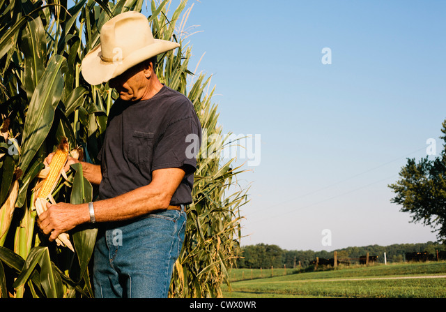 Farmer examining corn crop - Stock Image